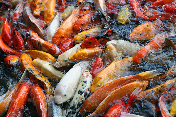 Post-Vacation Changes, or, The Koi Pond 1